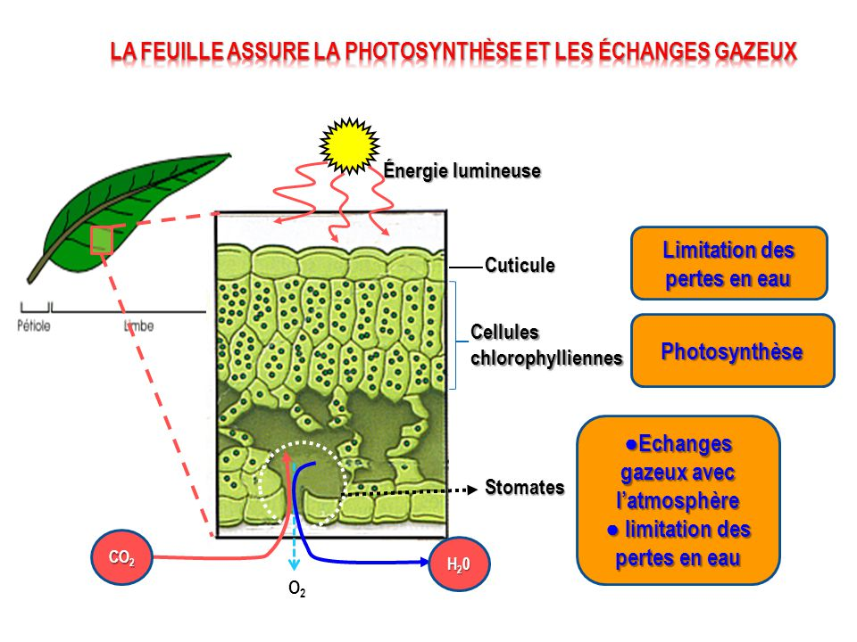 Les échanges gazeux entre la plante et l'atmosphère ont lieu au niveau des stomates dans toutes les parties vertes du végétal Dans quelles conditions l'organisation de la plante lui permet-elle, de puiser dans l'air ses éléments nutritifs .