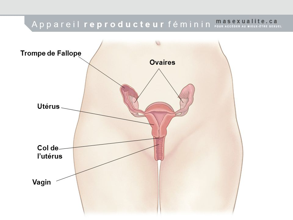 Trompe de Fallope Ovaires Utérus Col de l'utérus Vagin m a s e x u a l i t e.