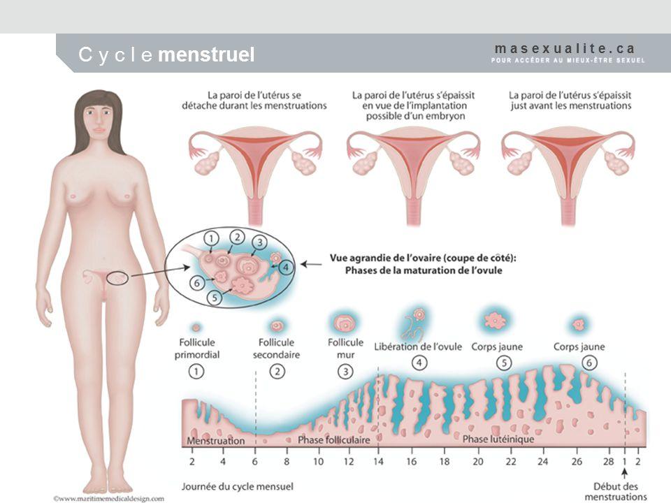 A p p a r e i l r e p r o d u c t e u r m a s c u l i n Vésicules séminales Canal déférent Prostate Pénis Épididyme Testicule m a s e x u a l i t e.