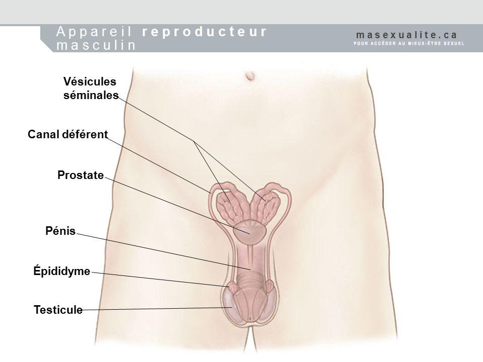 A p p a r e i l r e p r o d u c t e u r m a s c u l i n Vésicules séminales Canal déférent Prostate Pénis Épididyme Testicule m a s e x u a l i t e. c