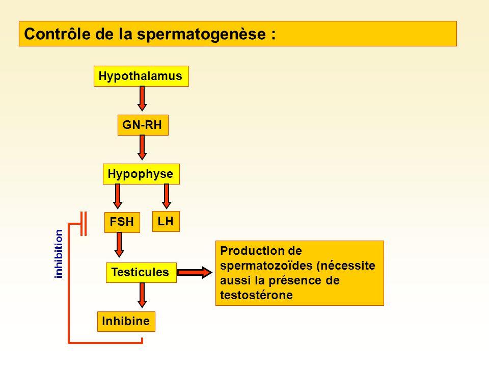 Contrôle de la spermatogenèse : Hypothalamus GN-RH Hypophyse FSH LH Testicules Inhibine inhibition Production de spermatozoïdes (nécessite aussi la présence de testostérone