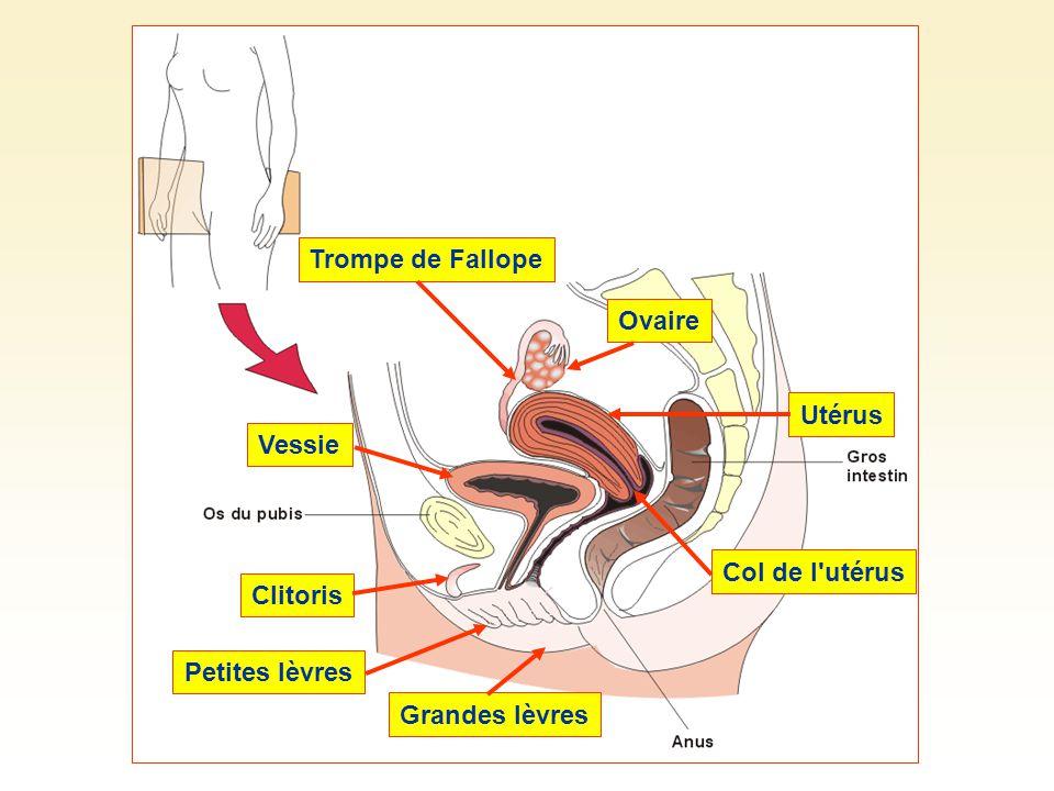 Trompe de FallopeOvaireUtérus Col de l utérus Grandes lèvres Petites lèvres ClitorisVessie