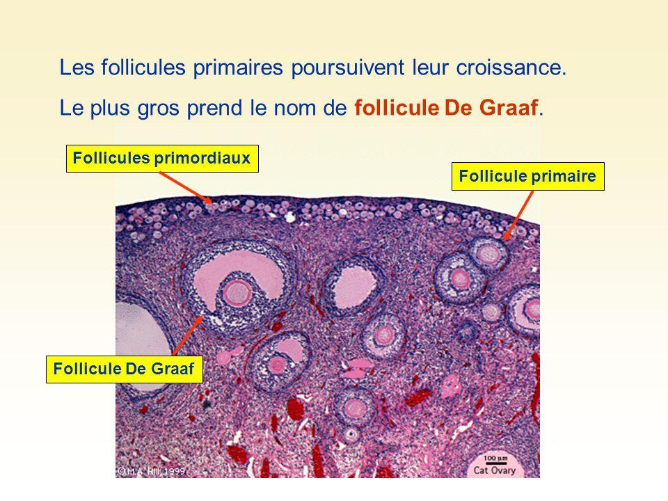 Les follicules primaires poursuivent leur croissance.