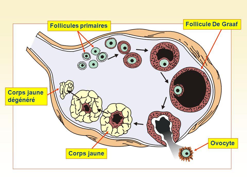 Follicules primairesFollicule De GraafOvocyte Corps jaune Corps jaune dégénéré