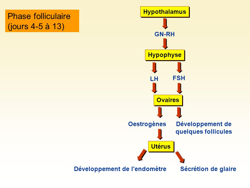 Phase folliculaire (jours 4-5 à 13) Hypothalamus GN-RH Développement de quelques follicules Hypophyse LH FSH Oestrogènes Ovaires Utérus Développement de l endomètreSécrétion de glaire