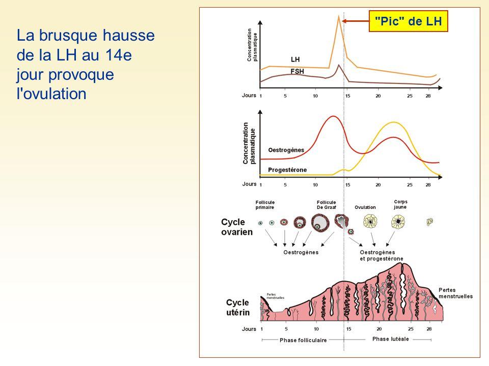 La brusque hausse de la LH au 14e jour provoque l ovulation Pic de LH