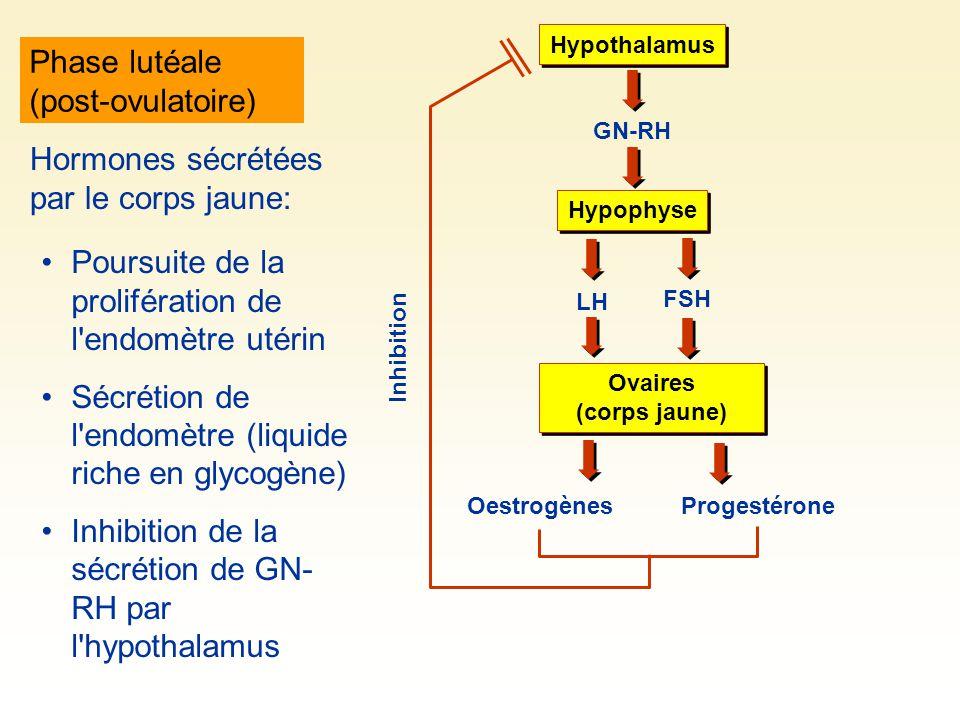 Phase lutéale (post-ovulatoire) Hypothalamus GN-RH Hypophyse LH FSH Ovaires (corps jaune) OestrogènesProgestérone Inhibition Hormones sécrétées par le corps jaune: Poursuite de la prolifération de l endomètre utérin Sécrétion de l endomètre (liquide riche en glycogène) Inhibition de la sécrétion de GN- RH par l hypothalamus
