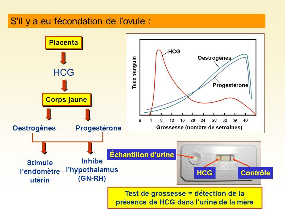 S il y a eu fécondation de l ovule : Placenta HCG Corps jaune OestrogènesProgestérone Stimule l endomètre utérin Inhibe l hypothalamus (GN-RH) Test de grossesse = détection de la présence de HCG dans l urine de la mère Échantillon d urine ContrôleHCG