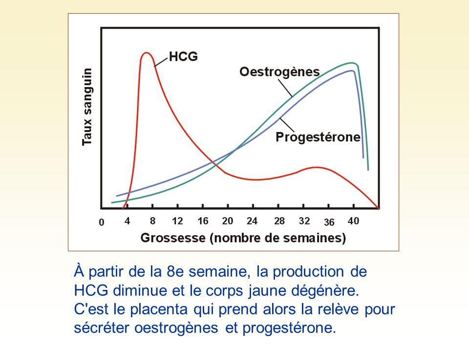À partir de la 8e semaine, la production de HCG diminue et le corps jaune dégénère.