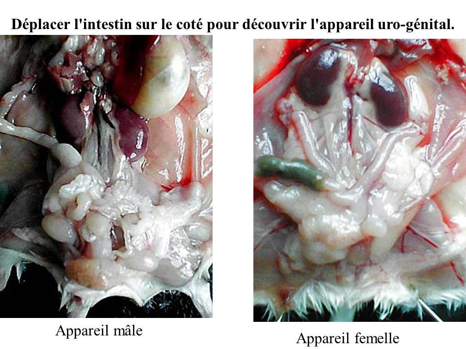 Appareil mâle Appareil femelle Déplacer l'intestin sur le coté pour découvrir l'appareil uro-génital.