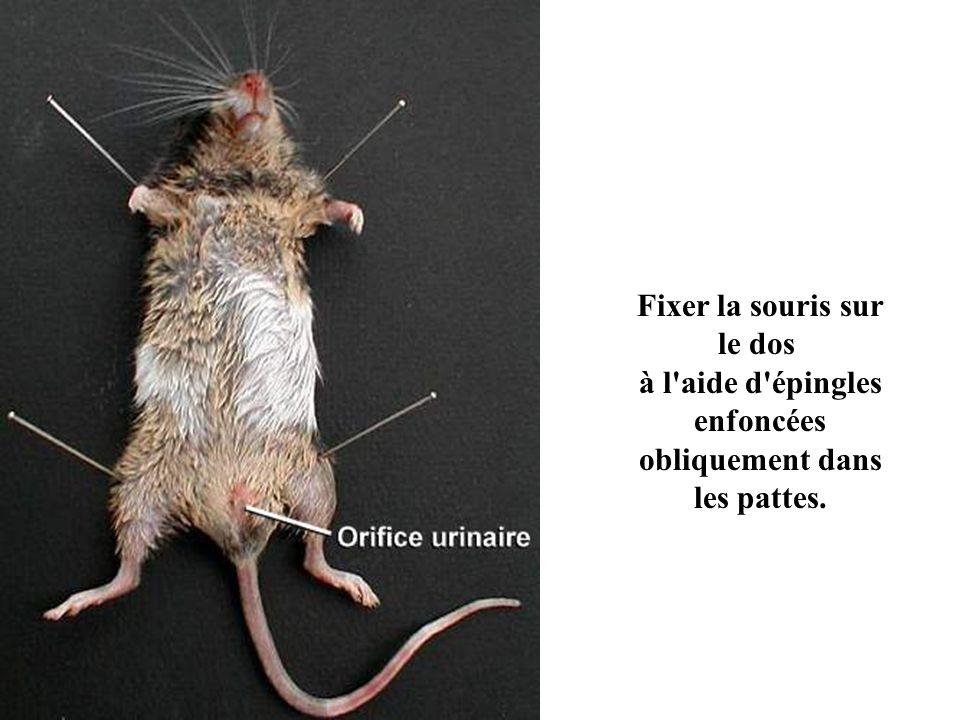 Fixer la souris sur le dos à l'aide d'épingles enfoncées obliquement dans les pattes.