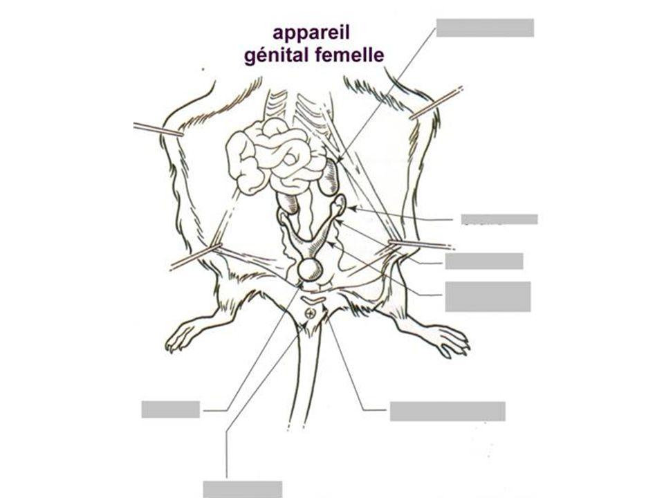 Appareil génital femelle souris