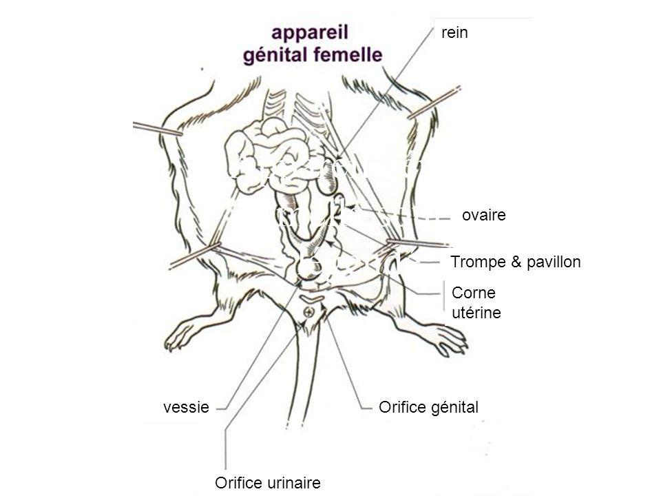 Appareil génital femelle souris légendé vessie Corne utérine Orifice génital ovaire Trompe & pavillon Orifice urinaire rein