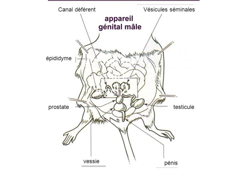 Appareil génital mâle souris légendé pénis vessie prostate épididyme testicule Vésicules séminalesCanal déférent