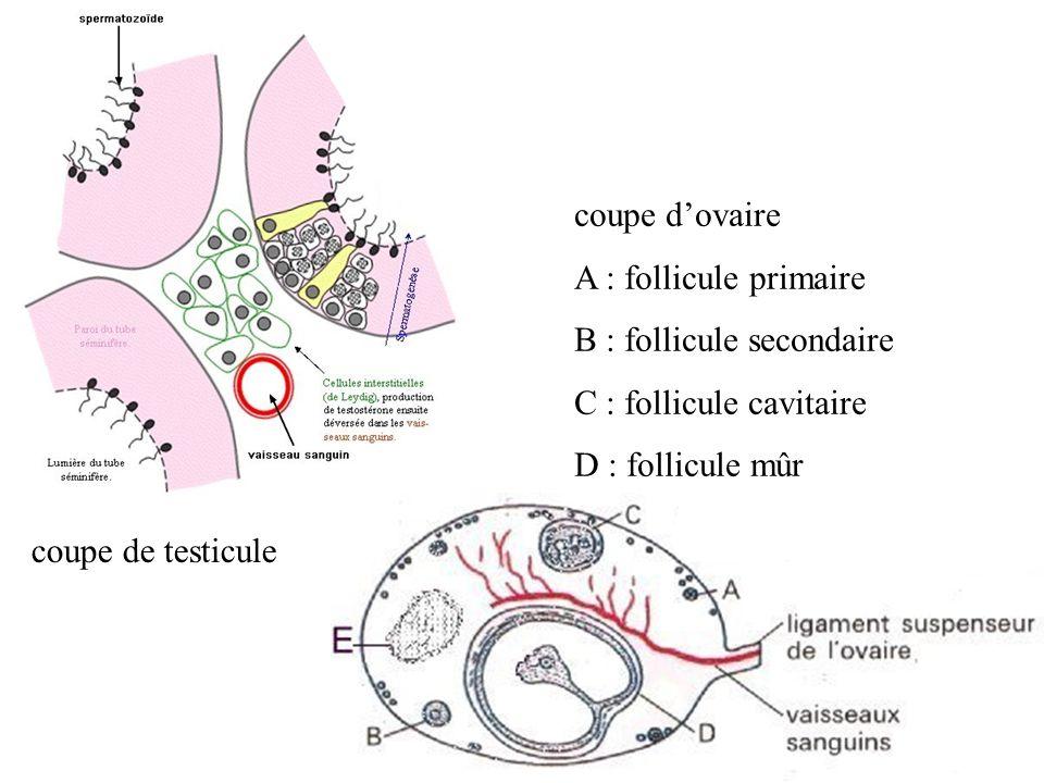coupe d'ovaire A : follicule primaire B : follicule secondaire C : follicule cavitaire D : follicule mûr E : corps jaune coupe de testicule