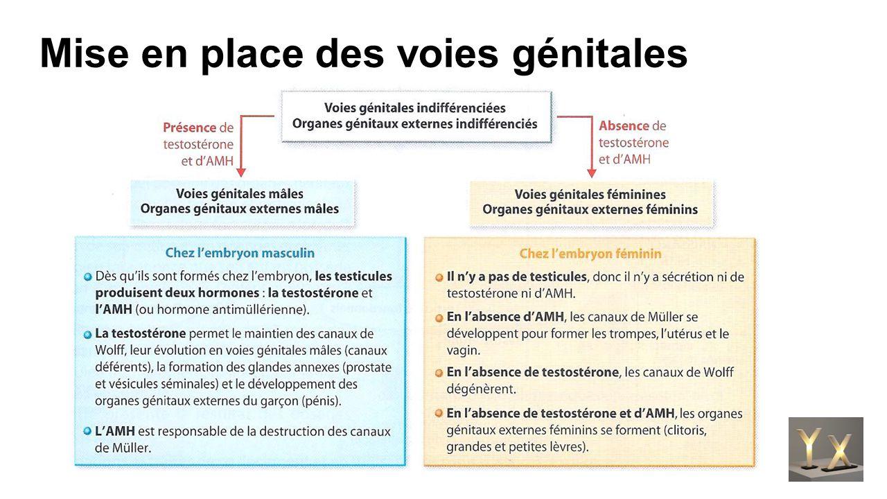 Différenciation des appareils sexuels La mise en place de l'appareil reproducteur masculin ou féminin se réalise en plusieurs étapes.