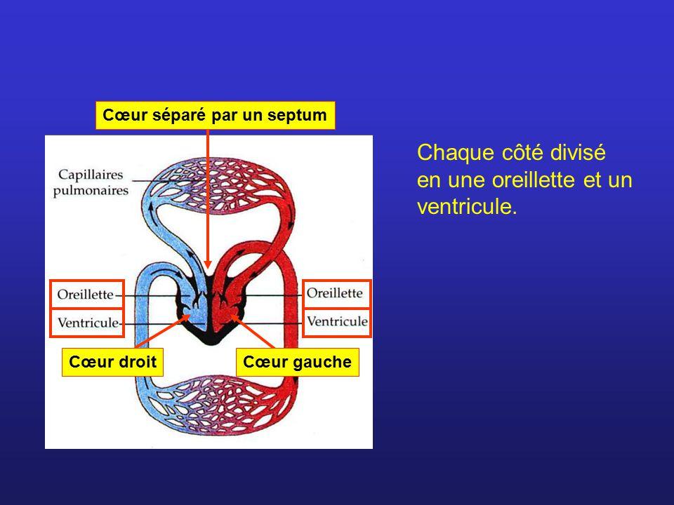 Cœur séparé par un septum Cœur droitCœur gauche Chaque côté divisé en une oreillette et un ventricule.