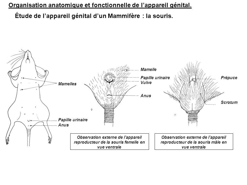Rectum Prostates Glande coagulante Muscles Anus Vessie Vésicule séminale Tissu adipeux Épididyme Testicule gauche Canal déférent Urètre Glandes préputiales (Tyson) Pénis (prépuce) Organisation anatomique de l'appareil reproducteur de la souris mâle ; vue ventrale