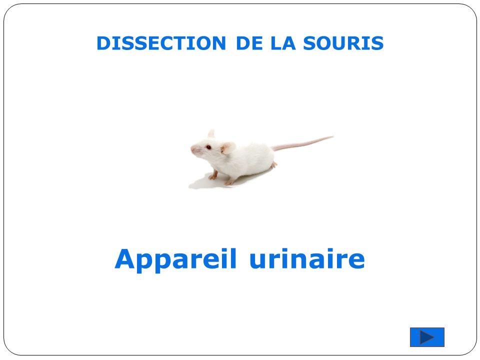 DISSECTION DE LA SOURIS Appareil urinaire