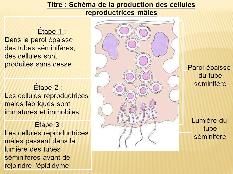 Paroi épaisse du tube séminifère Lumière du tube séminifère Étape 2 : Les cellules reproductrices mâles fabriqués sont immatures et immobiles Étape 3