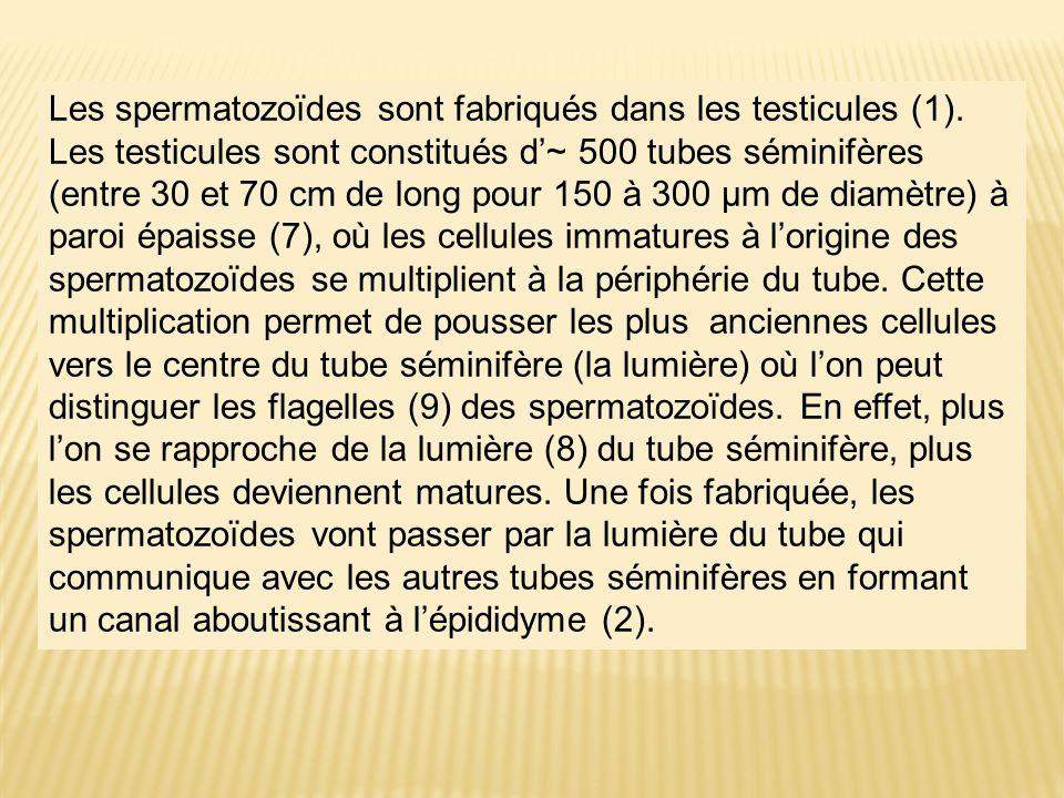 Les spermatozoïdes sont fabriqués dans les testicules (1). Les testicules sont constitués d'~ 500 tubes séminifères (entre 30 et 70 cm de long pour 15