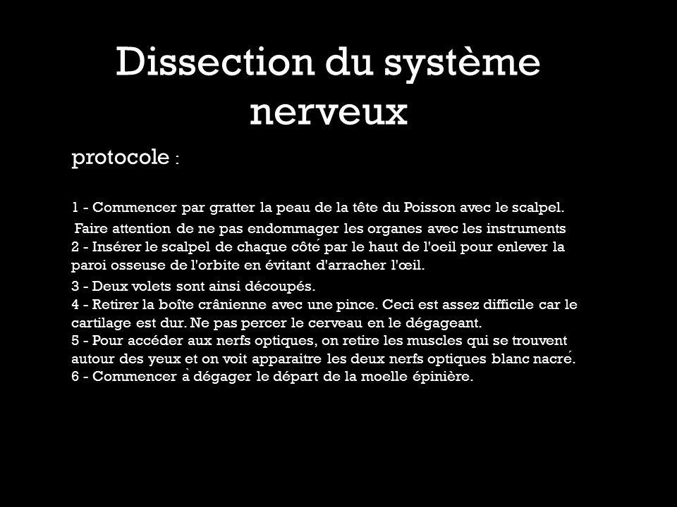 Dissection du système nerveux protocole : 1 - Commencer par gratter la peau de la tête du Poisson avec le scalpel. Faire attention de ne pas endommage