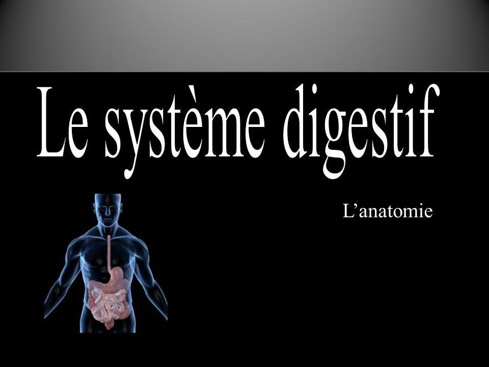 Première partie de l'intestin grêle, après l estomac En forme de fer à cheval Reçoit plusieurs enzymes d'autres organes pour digestion duodénum Le duodénum