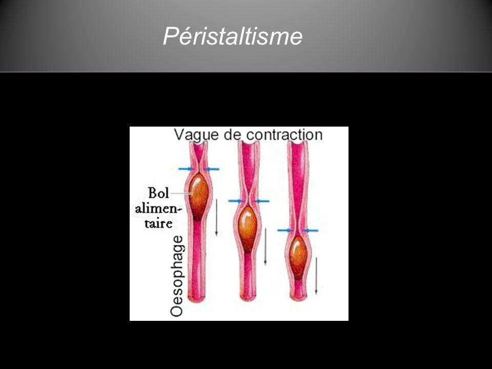 Le foie Débit sanguin: ~1,4 litre /minute Contient environ 10% du sang total du corps.