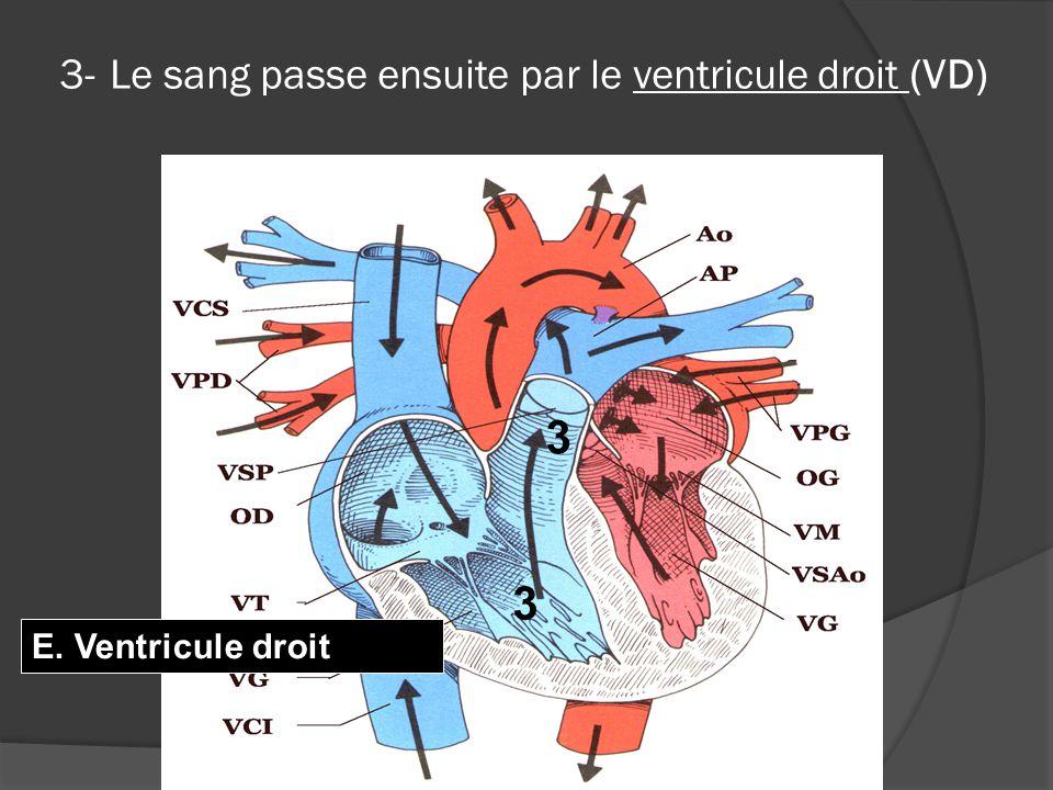 3- Le sang passe ensuite par le ventricule droit (VD) 3 3 E. Ventricule droit