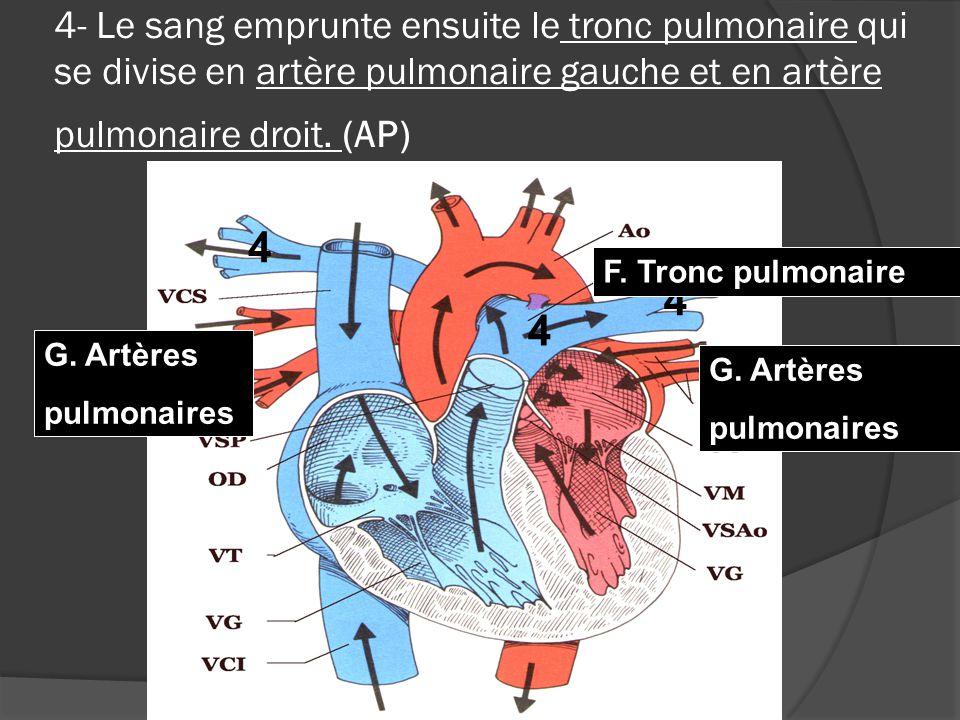 4- Le sang emprunte ensuite le tronc pulmonaire qui se divise en artère pulmonaire gauche et en artère pulmonaire droit.