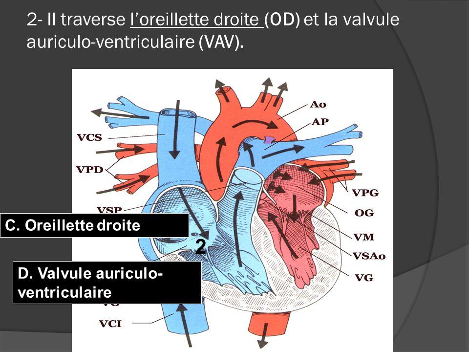  Lorsque nous prenons notre pouls à la gorge, au poignet ou aux tempes, ceci correspond à la pulsation de notre ventricule gauche.