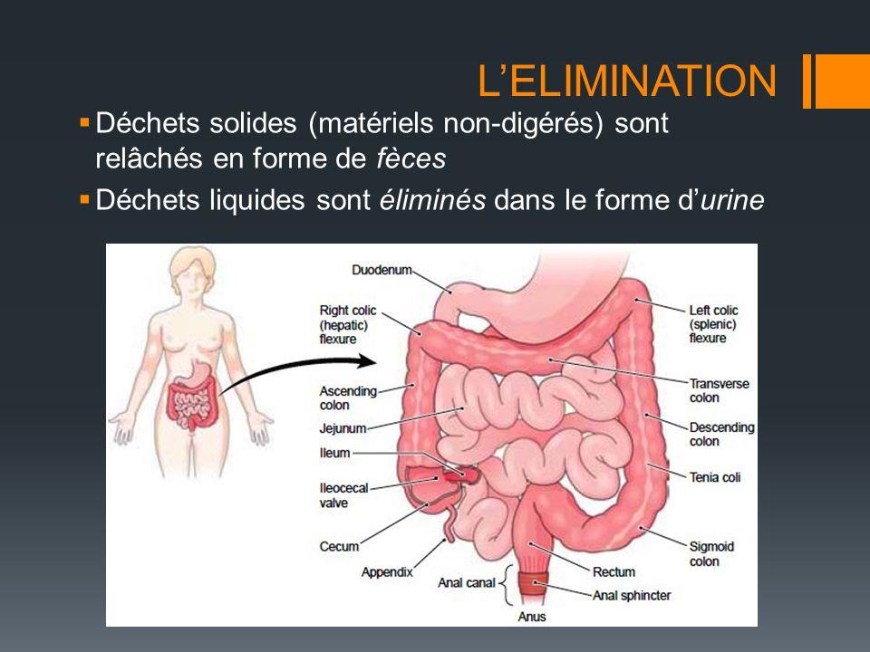 L'ELIMINATION  Déchets solides (matériels non-digérés) sont relâchés en forme de fèces  Déchets liquides sont éliminés dans le forme d'urine
