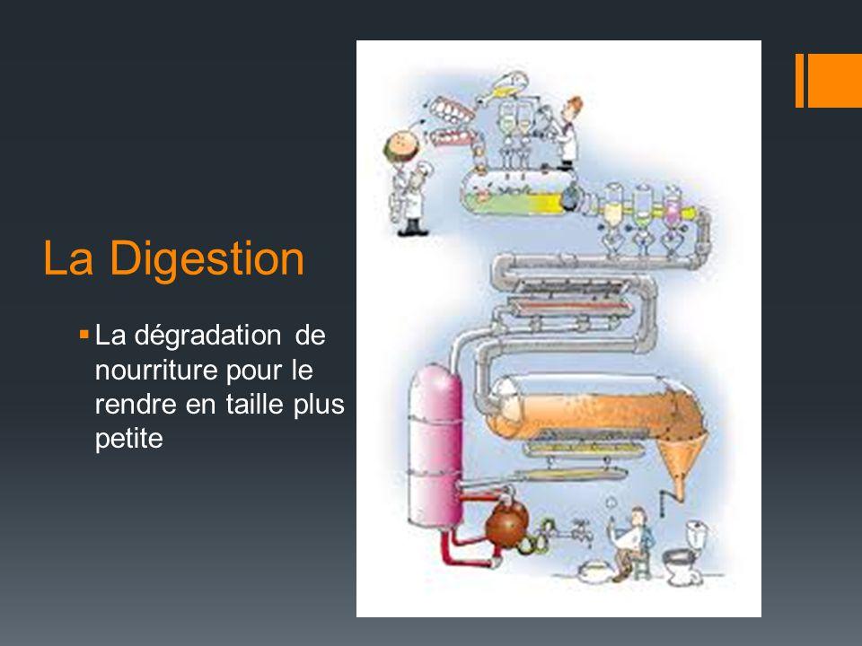 La Digestion – la BOUCHE  Digestion Mécanique: mâcher = grand morceau petits morceaux (bol alimentaire)  Digestion Chimique: la salive (produits par les glandes salivaires) contient l'enzyme amylase (glucides complexe glucides simple)