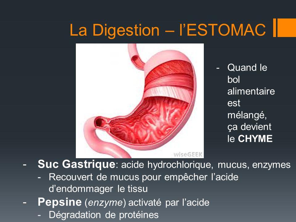 La Digestion – INTESTINE GRÊLE  Chyme entre de l'estomac (premier partie appelé duodénum)  Connecté à d'autres organes qui contribuent du suc digestif  PANCRÉAS  Produit des enzymes digestif (dégradent les glucides, lipides et protéines)  FOIE  Produit la Bile (entreposé dans la vésicule biliaire)  VÉSICULE BILIAIRE  Agit comme un détergent et défait les amas de lipides