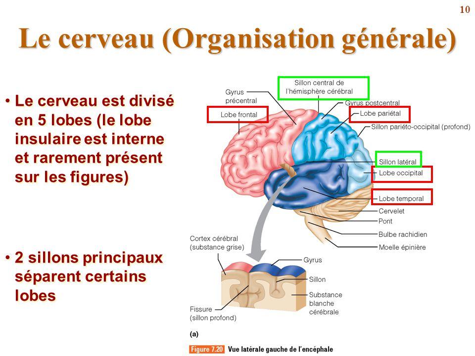 10 Le cerveau (Organisation générale) Le cerveau est divisé en 5 lobes (le lobe insulaire est interne et rarement présent sur les figures) 2 sillons p
