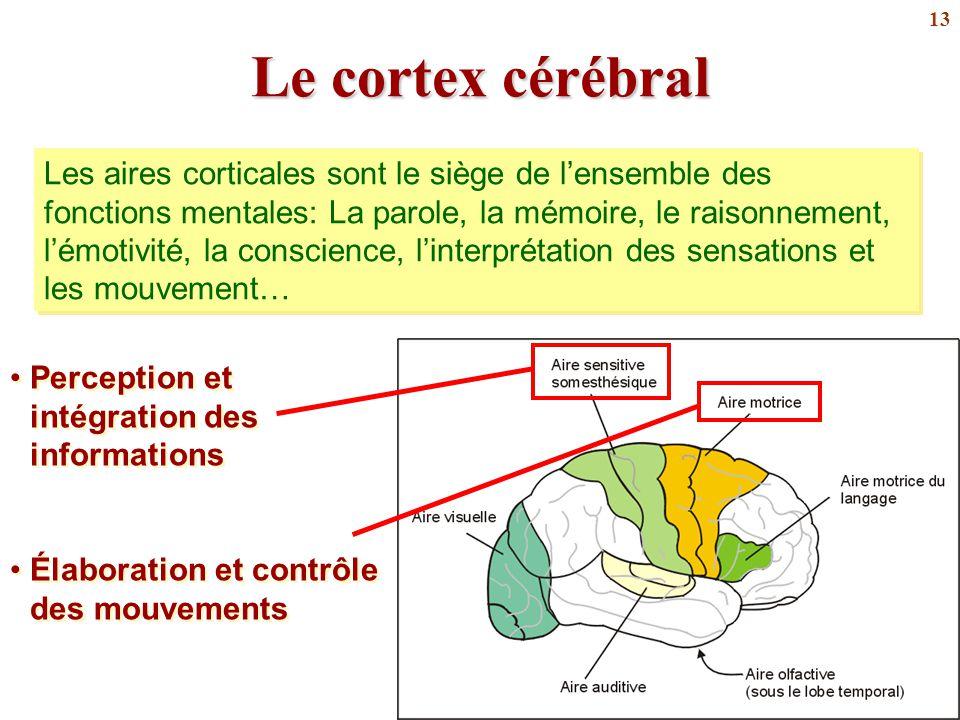 13 Le cortex cérébral Perception et intégration des informations Élaboration et contrôle des mouvements Perception et intégration des informations Éla