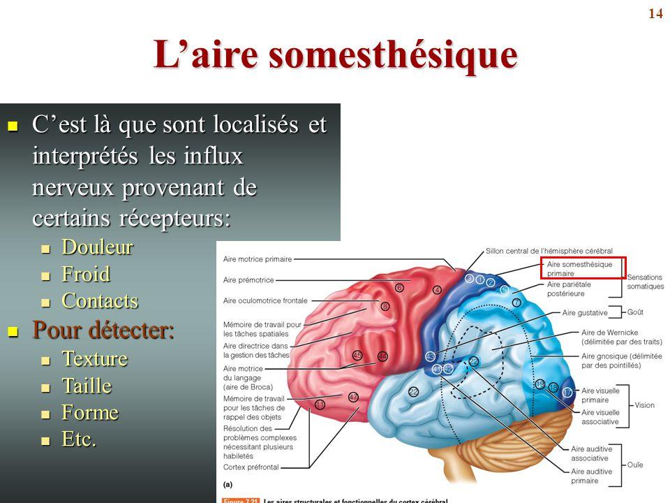14 L'aire somesthésique C'est là que sont localisés et interprétés les influx nerveux provenant de certains récepteurs: C'est là que sont localisés et