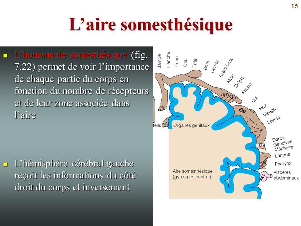 15 L'aire somesthésique L'homoncule somesthésique (fig. 7.22) permet de voir l'importance de chaque partie du corps en fonction du nombre de récepteur