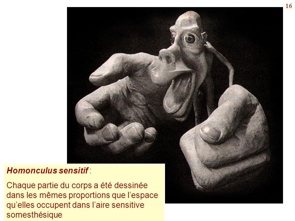16 Homonculus sensitif : Chaque partie du corps a été dessinée dans les mêmes proportions que l'espace qu'elles occupent dans l'aire sensitive somesth