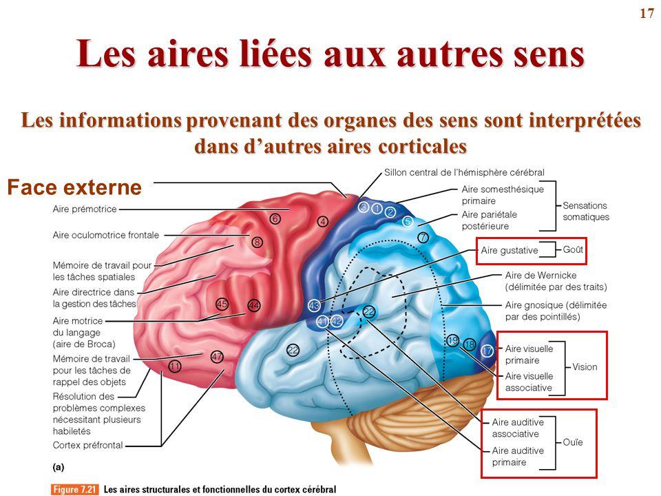 17 Les aires liées aux autres sens Les informations provenant des organes des sens sont interprétées dans d'autres aires corticales Face externe