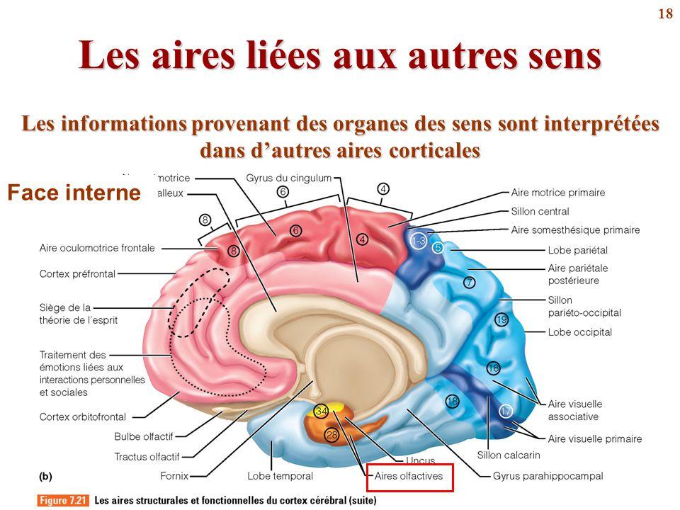 18 Les aires liées aux autres sens Face interne Les informations provenant des organes des sens sont interprétées dans d'autres aires corticales
