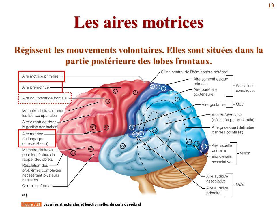 19 Les aires motrices Régissent les mouvements volontaires. Elles sont situées dans la partie postérieure des lobes frontaux.