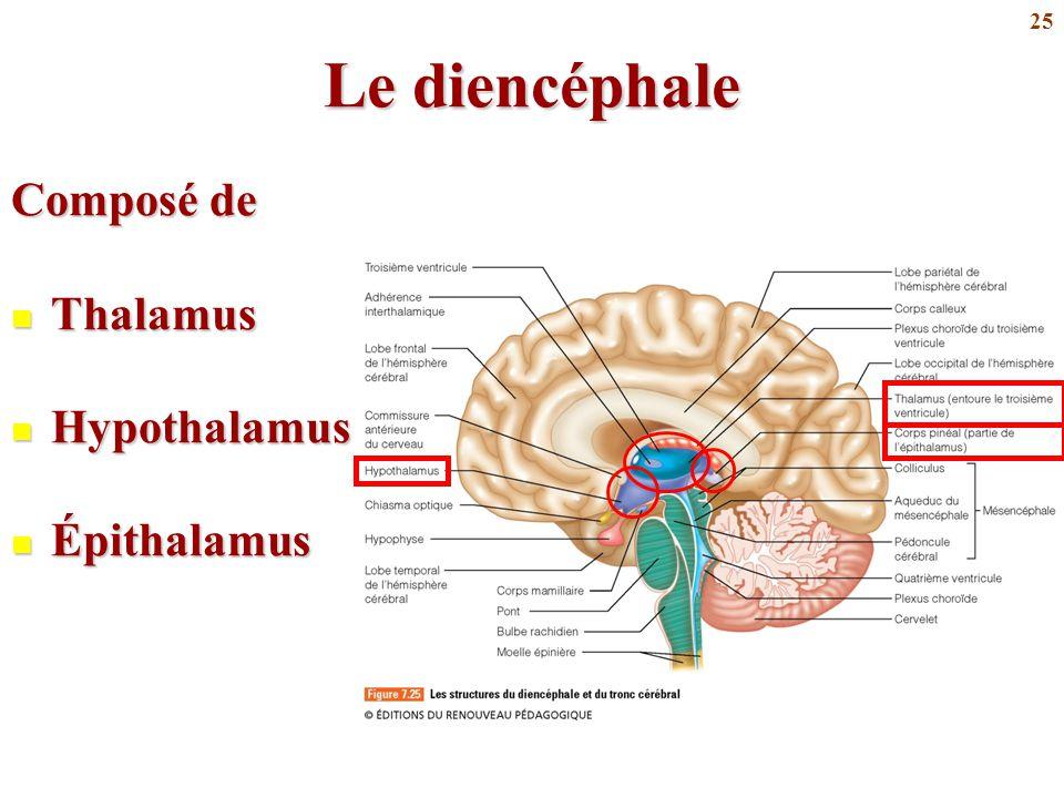 25 Le diencéphale Composé de Thalamus Thalamus Hypothalamus Hypothalamus Épithalamus Épithalamus