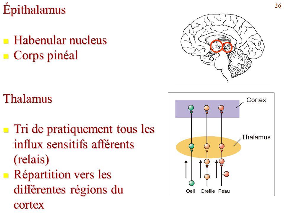26Épithalamus Habenular nucleus Habenular nucleus Corps pinéal Corps pinéalThalamus Tri de pratiquement tous les influx sensitifs afférents (relais) T