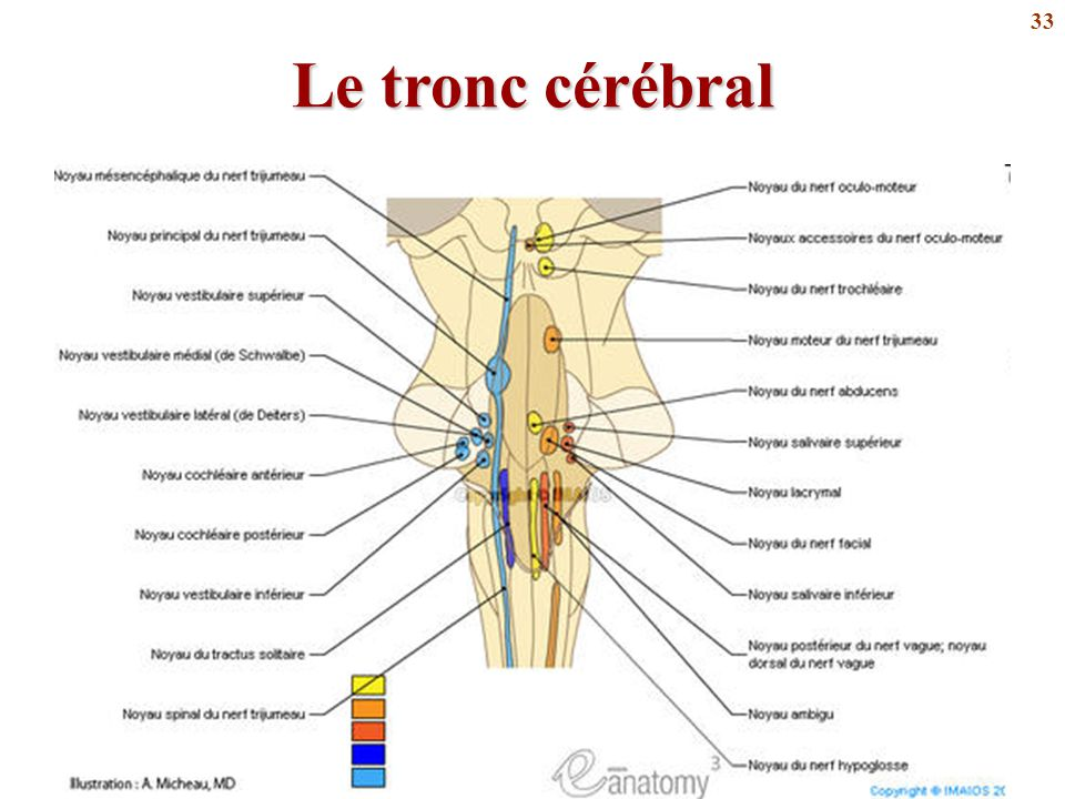 33 Le tronc cérébral