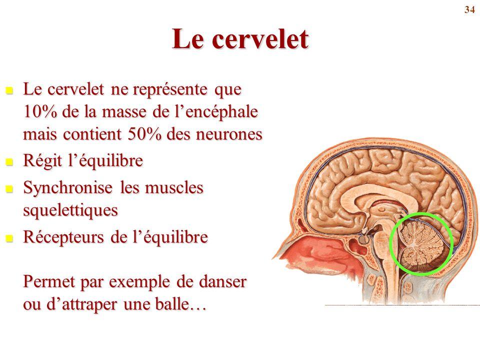 34 Le cervelet Le cervelet ne représente que 10% de la masse de l'encéphale mais contient 50% des neurones Le cervelet ne représente que 10% de la mas