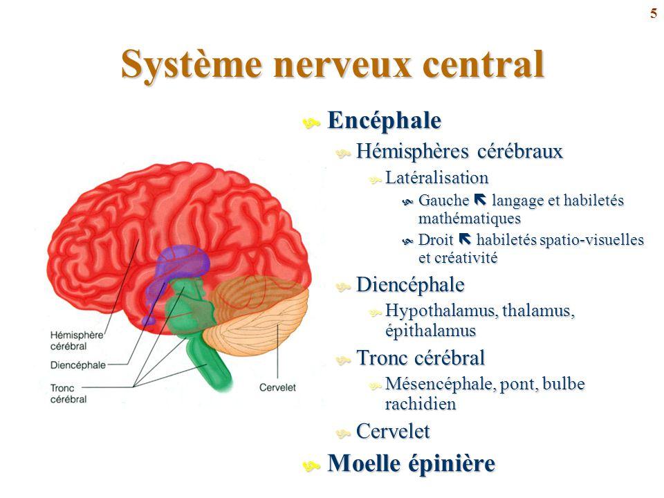 5 Système nerveux central  Encéphale  Hémisphères cérébraux  Latéralisation  Gauche  langage et habiletés mathématiques  Droit  habiletés spati