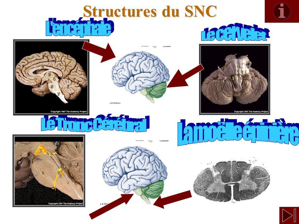 6 Structures du SNC