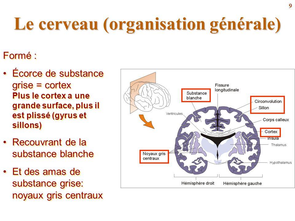 9 Le cerveau (organisation générale) Formé : Écorce de substance grise = cortex Plus le cortex a une grande surface, plus il est plissé (gyrus et sill