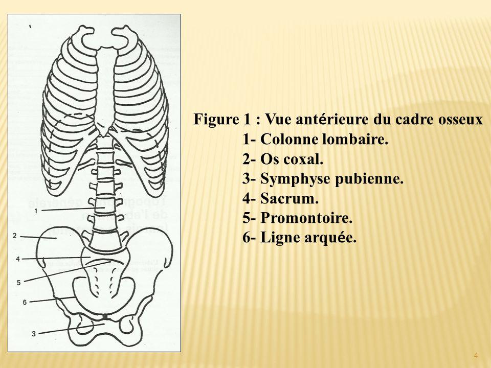 Figure 1 : Vue ant é rieure du cadre osseux 1- Colonne lombaire. 2- Os coxal. 3- Symphyse pubienne. 4- Sacrum. 5- Promontoire. 6- Ligne arqu é e. 4